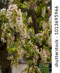 Small photo of Robinia pseudoacacia, black locust, a tree of the genus Robinia in subfamily Faboideae pea family Fabaceae, the False Acacia or Locust Tree bursts into pure white raceme blossoms in early spring .
