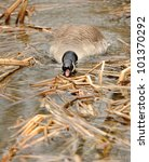 Canada geese (branta Canadensis) in water - stock photo