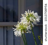 Small photo of Stately white agapanthus Lily of the Nile genus in subfamily Agapanthoideae of plant family Amaryllidaceae contrasted against the long green leaves is a popular feature plant .