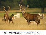 european red deer  cervus... | Shutterstock . vector #1013717632