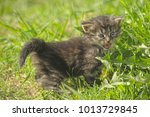 small beautiful fluffy kitten... | Shutterstock . vector #1013729845