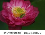 Pink Sacred Lotus Is Home To A...
