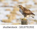 red tail hawk in field on post...   Shutterstock . vector #1013751532