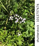 Small photo of Ageratum conyzoides or Billygoat weed or Chick weed or Goatweed or Whiteweed flower.