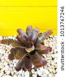 Small photo of Aechmea fasciata in the pot with white stones decorated with yellow walls.
