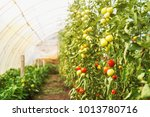 photo of young tomatoes inside...   Shutterstock . vector #1013780716
