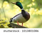 single male mallard duck bird... | Shutterstock . vector #1013801086