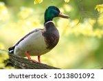 single male mallard duck bird... | Shutterstock . vector #1013801092