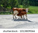brown cow and calf suckling... | Shutterstock . vector #1013809066