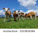 cows grazing on green meadow in ... | Shutterstock . vector #1013826586