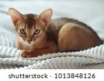Stock photo beautiful abyssinian cat 1013848126