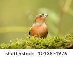 Male Chaffinch On Green Moss...