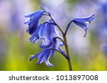 Bluebell Amongst Bluebells