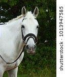 portrait of a white warmblood... | Shutterstock . vector #1013947585