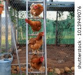 Small photo of Four Isa brown chickens on a ladder