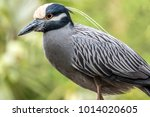 Yellow Crowned Night Heron...