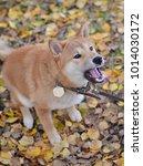 Small photo of angry Shiba inu red dog