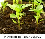 spring planting of peppers.... | Shutterstock . vector #1014036022