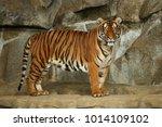 siberian tigers  panthera... | Shutterstock . vector #1014109102