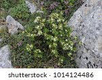 Small photo of Flowering Daphne oleoides on the Dirfys mountain in Greece