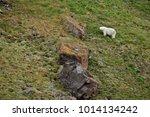 polar bear in summer arctic  ...   Shutterstock . vector #1014134242