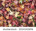 red maple leaf fall on ground... | Shutterstock . vector #1014142696