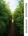 Small photo of cannabis field with labyrinth in germany