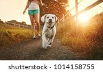 Stock photo walk a young woman with dog at sunset next to a paddock labrador puppy running with pretty face 1014158755
