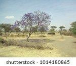 Blooming Jacaranda Tree In An...