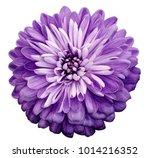 Chrysanthemum  Violet  Flower....