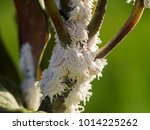 mealy bug on branch. ... | Shutterstock . vector #1014225262