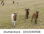 Herd Of Goats On Grazing.