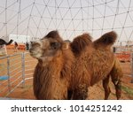 Small photo of Double hump Camel