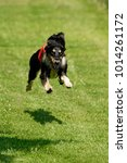 Small photo of jumping Afghan Hound