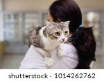 cat breeds british lop sits on...   Shutterstock . vector #1014262762