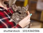 woman holding a gray chinchilla ... | Shutterstock . vector #1014360586