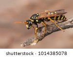 Female of paper wasp