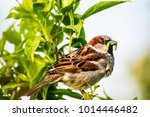 male or female house sparrow or ... | Shutterstock . vector #1014446482