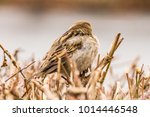male or female house sparrow or ... | Shutterstock . vector #1014446548