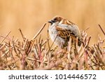 male or female house sparrow or ... | Shutterstock . vector #1014446572