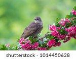 a cute baby starling  sturnus... | Shutterstock . vector #1014450628