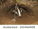 badger cub  native  wild... | Shutterstock . vector #1014464038