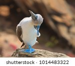blue footed booby with nice... | Shutterstock . vector #1014483322