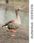 Grey Geese - stock photo