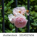 beautiful pale pink heritage...   Shutterstock . vector #1014527656