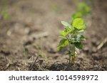 bean organic in field and green ... | Shutterstock . vector #1014598972