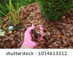 mulching garden beds with pine... | Shutterstock . vector #1014613312