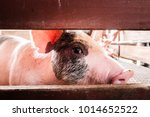 curious pig sniffing fence | Shutterstock . vector #1014652522