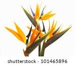 Stock photo bird of paradise flowers isolated on a white background 101465896