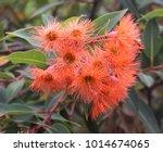 orange flower blossom of... | Shutterstock . vector #1014674065